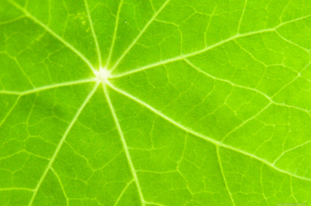 Green-leaf-veins-988